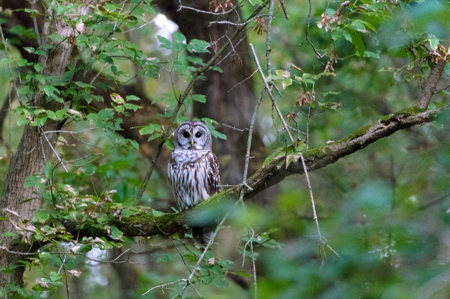 Resident barred owl perched in tree just before sunrise